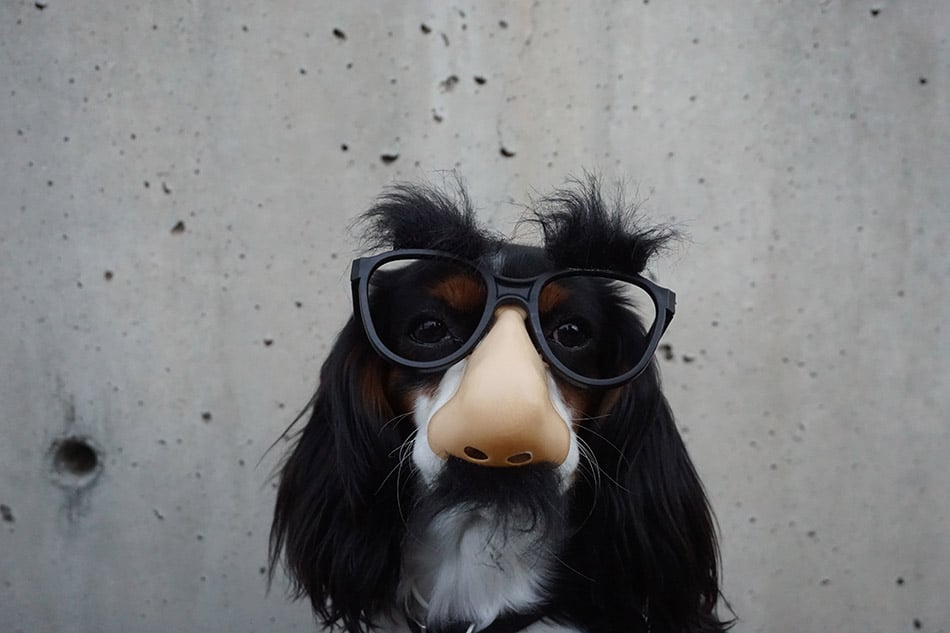 dog wearing a funny glasses with hairy eyebrows, nose and mustache